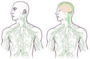 Иммунная система и головной мозг оказались связаны напрямую.